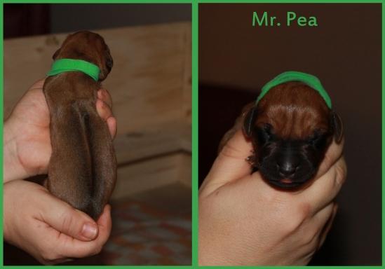 pea boy
